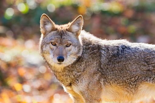 Coyote in golden light 527888160
