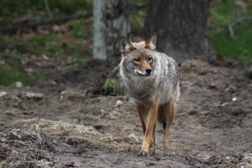 Coyote  in Omega Park, Quebec 157373461