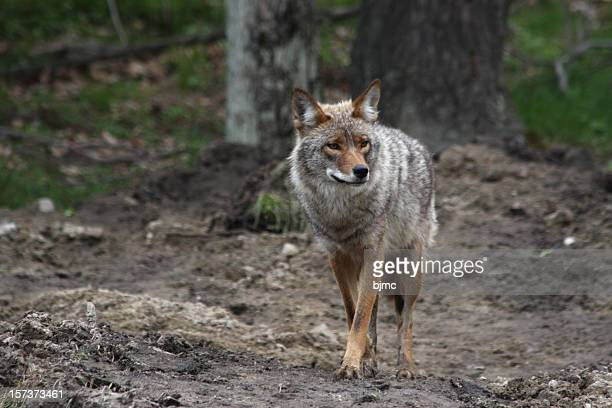 coyote  in omega park, quebec - coyote stock pictures, royalty-free photos & images
