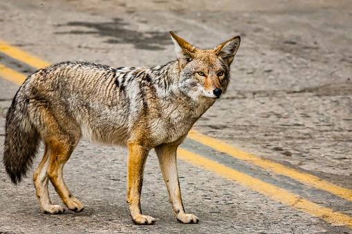 Coyote in Sequoia national park 1189310324