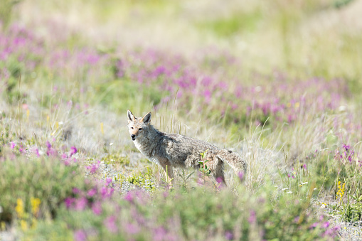 Coyote in the Flowers 845763608
