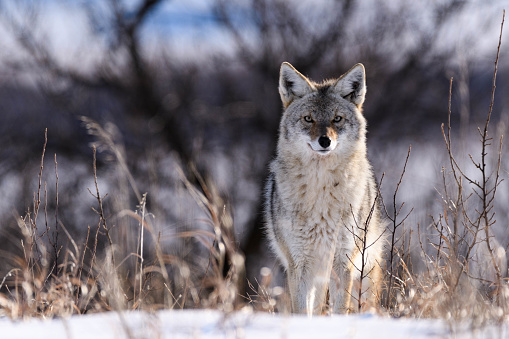 Coyote in the Snow 641697396