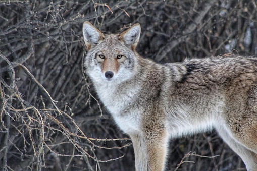 Coyote In The Wild 1068616750