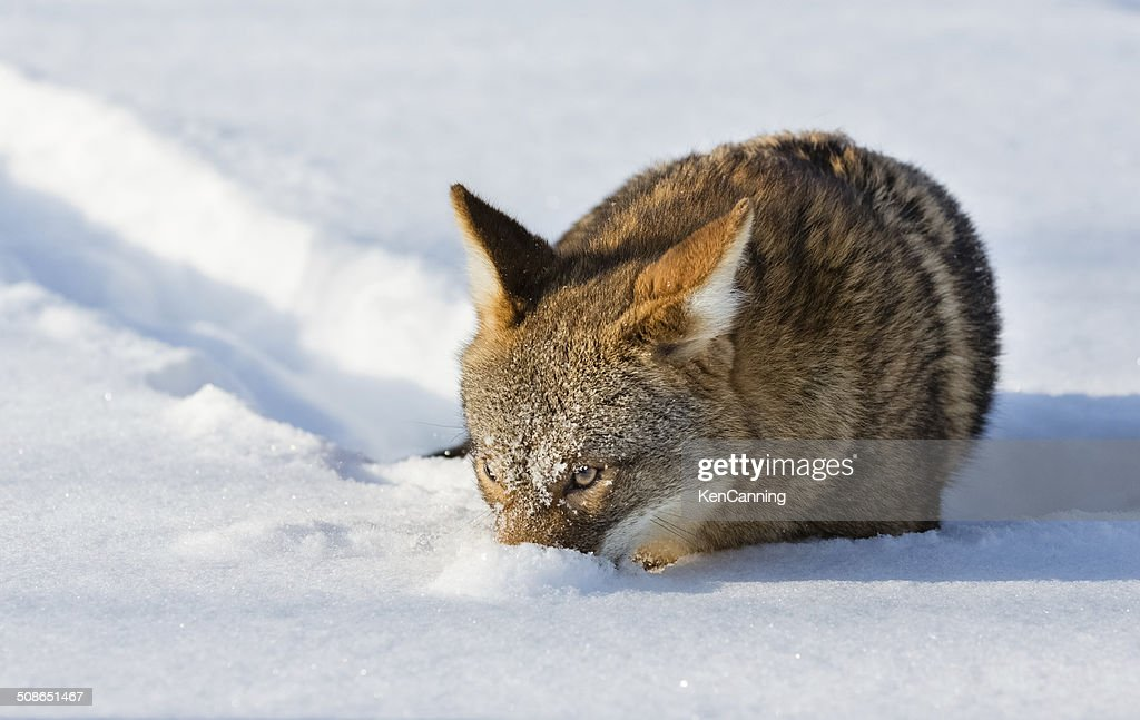 Coyote in Winter : Stock Photo
