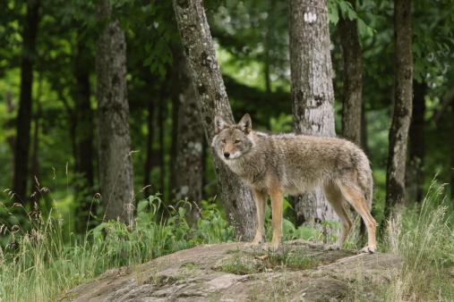 Coyote in Woods 182819196