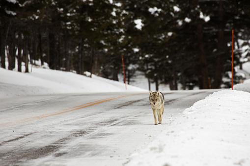 Coyote in Yellowstone 1150787692