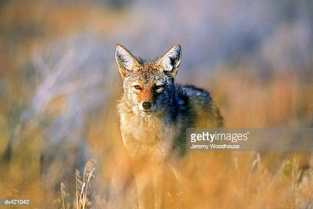 coyote (canis latrans), joshua tree national park, california, usa - jeremy woodhouse stock pictures, royalty-free photos & images