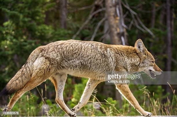 A coyote keeps pace with a car as it runs down the road October 8 2012 in Yellowstone National Park in WyomingYellowstone National Park is America's...