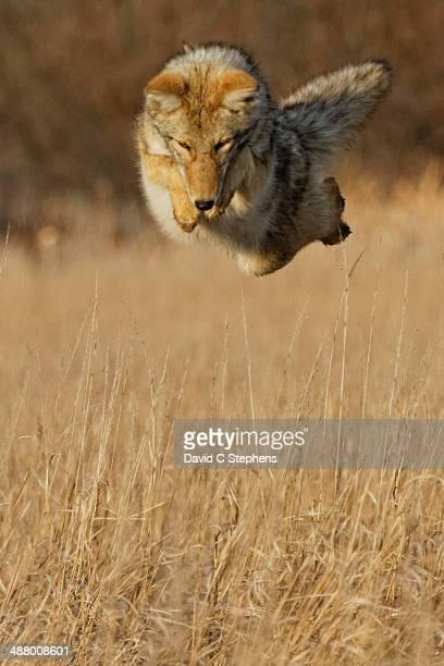 coyote leaps high - coiote imagens e fotografias de stock