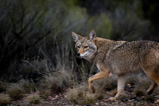 Coyote Looking at camera 484218198