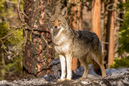 Coyote (Canis latrans) Looks forward in Yosemite, California 506846480