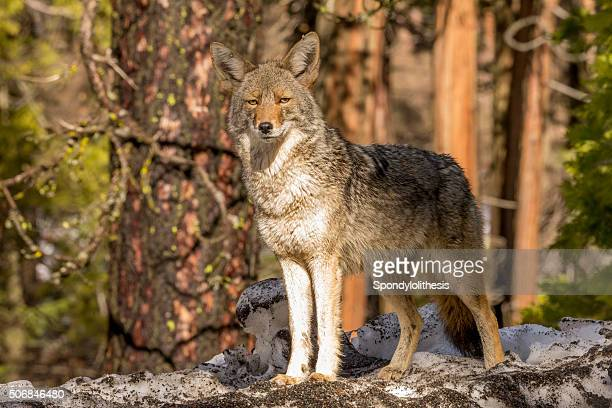 coyote (canis latrans) looks forward in yosemite, california - coyote stock pictures, royalty-free photos & images