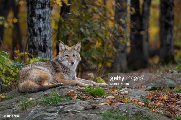a coyote lying down in a forest. - coyote stock pictures, royalty-free photos & images