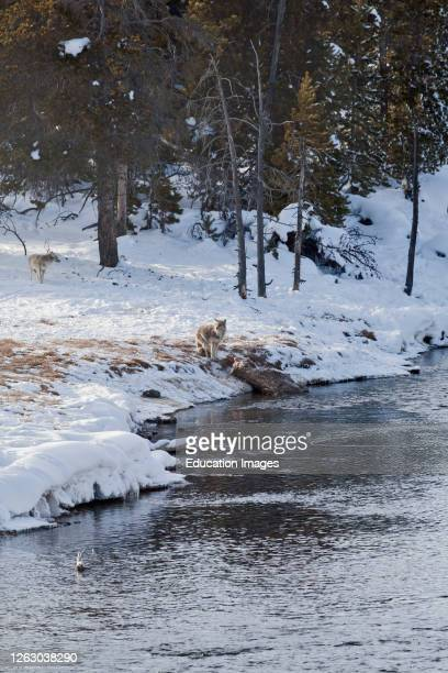 Coyote near an Elk Kill on the Firehole River in Winter Yellowstone National Park WY