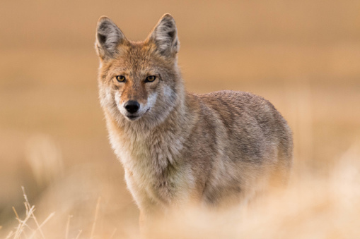 Coyote on the Prairies in Autumn 857232482
