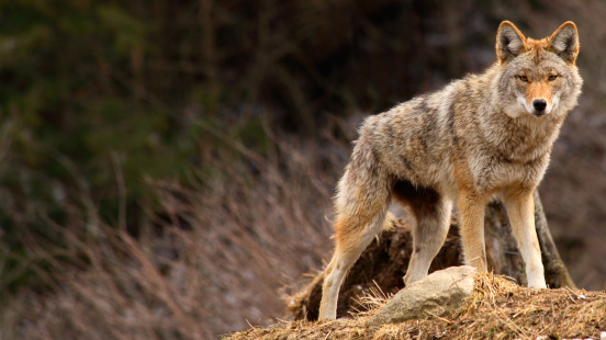 Coyote on Top of a Hill 131610336