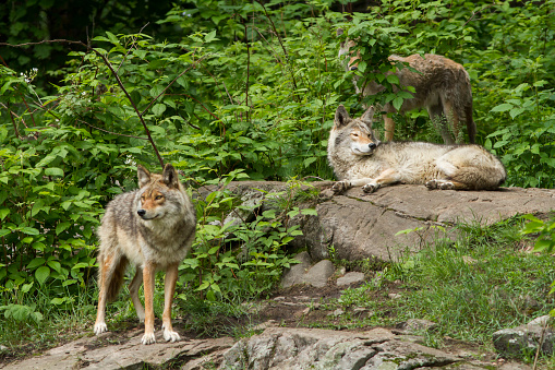 Coyote Pack 576548374