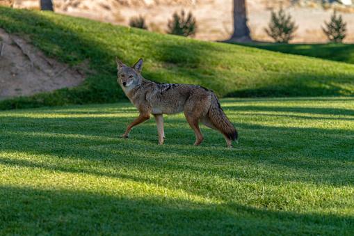 Coyote 1047364644