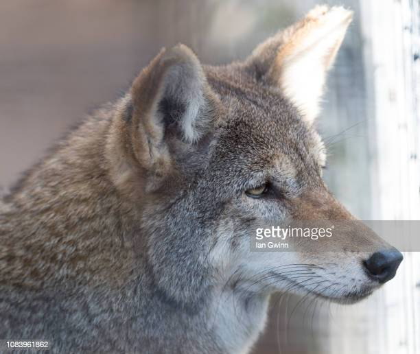 coyote - ian gwinn stock photos and pictures