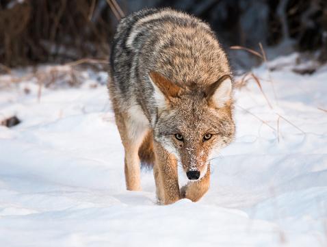 Coyote 1144656962