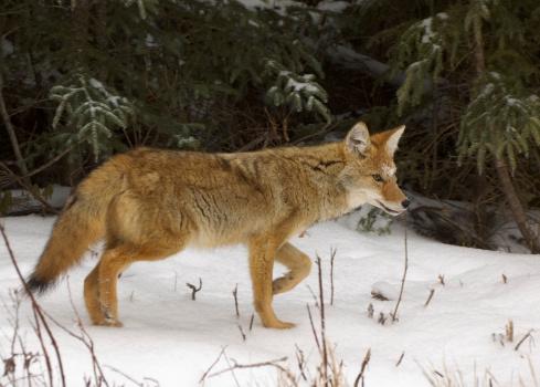 Coyote 136344580