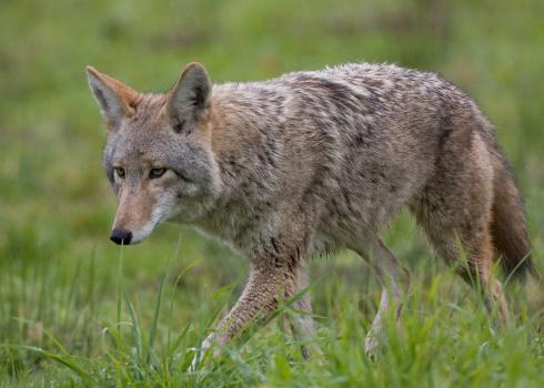 Coyote 149056936