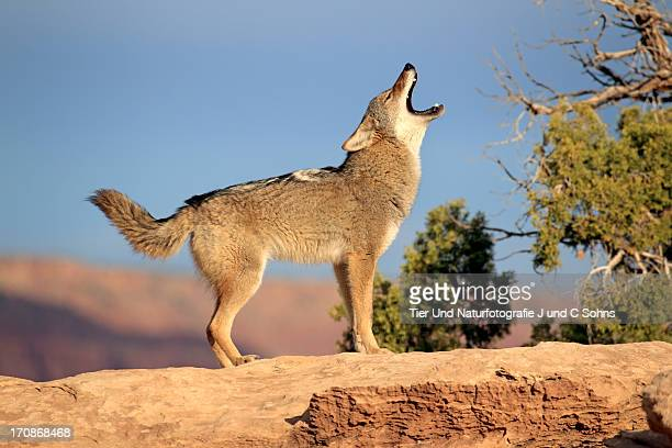 coyote - coyote stock pictures, royalty-free photos & images