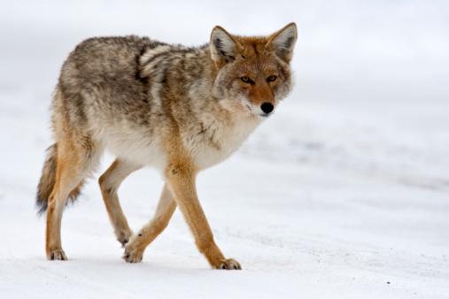 Coyote (Yellowstone NP) 173699426