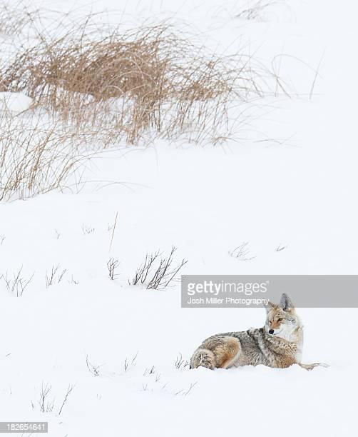 coyote (canis latrans) - coiote imagens e fotografias de stock