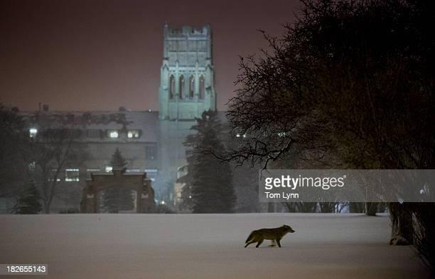 coyote - coiote imagens e fotografias de stock