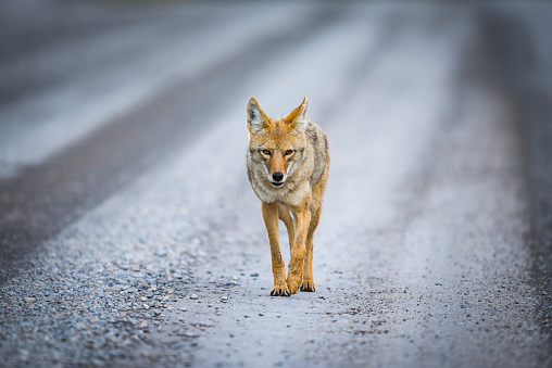 Coyote (Canis Latrans) 501201746