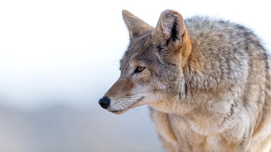 Coyote 507374084
