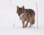 Big Coyote Stock Photos - FreeImages com