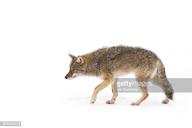 coyote - animales en cautiverio fotografías e imágenes de stock