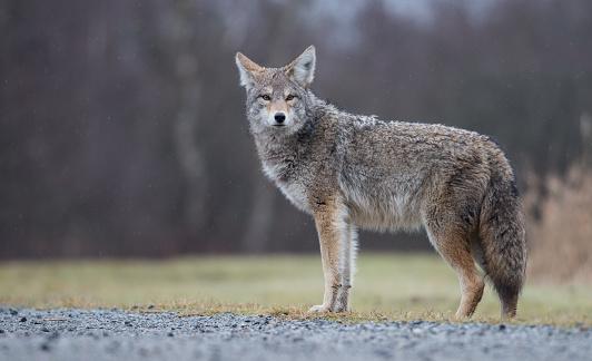 Coyote 918372076
