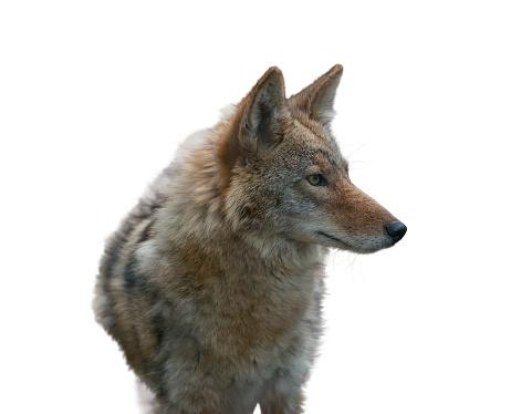 Coyote Portrait , close up 816545150