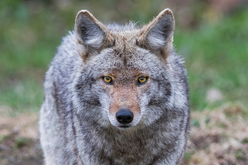 coyote portrait 1149269101