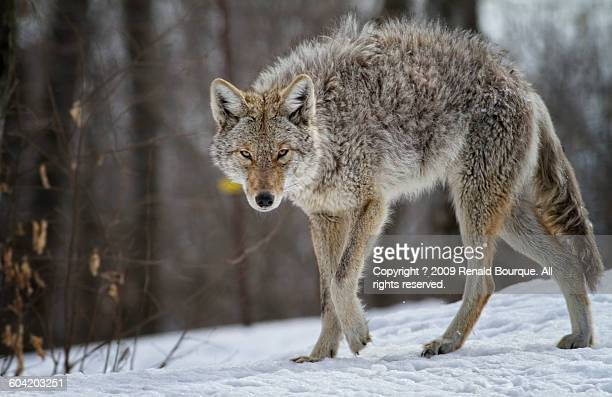 coyote predator - coyote stock pictures, royalty-free photos & images