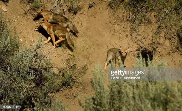 Coyote pups come out of their den in sage brush north of Rifle on June 28 2017 in Rifle Colorado