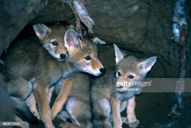 coyote pups - coyote stock pictures, royalty-free photos & images