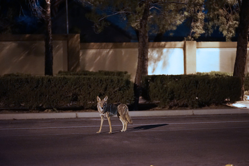 Coyote Roaming A Suburb Street 998731692