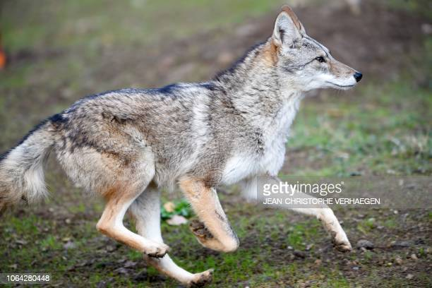 A coyote runs in the animal park of SainteCroix on November 22 in Rhodes eastern France as six specimen are recently welcomed for the first time