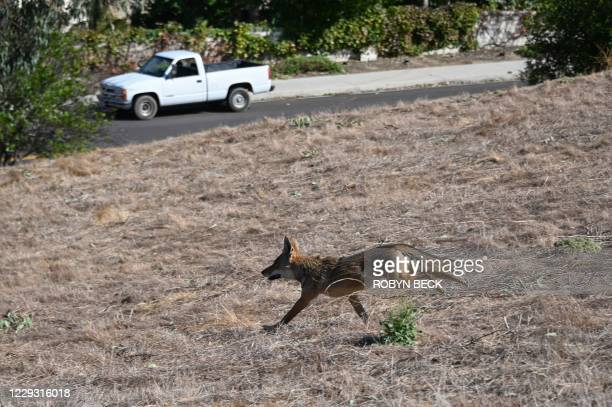 Coyote runs out of a burning hillside into a residential area at the Blue Ridge Fire in Chino, California, October 27, 2020. - Two wind-driven...