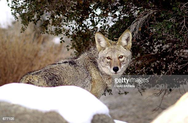 A coyote searches for food among the snowcovered rocks of Joshua Tree National Monument January 28 as a storm moves out of southern California...