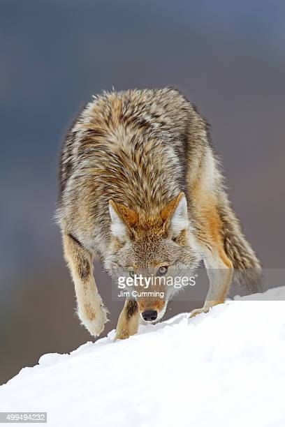 coyote sniffs the snow - coyote stock pictures, royalty-free photos & images