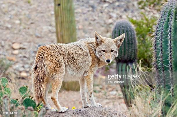 coyote, (canis latrans) sonoran desert, arizona, usa - coiote imagens e fotografias de stock