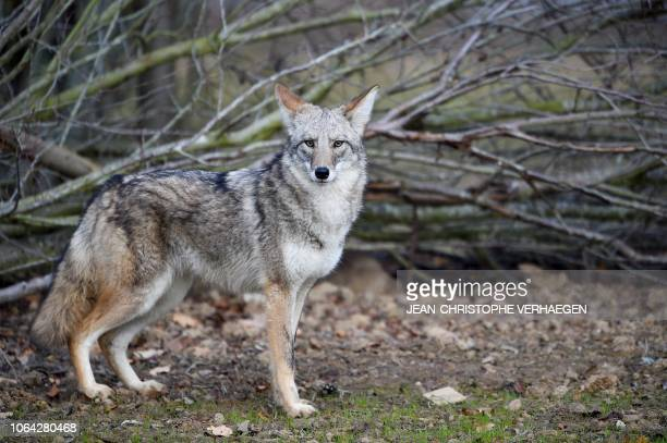 A coyote stands in the animal park of SainteCroix on November 22 in Rhodes eastern France as six specimen are recently welcomed for the first time