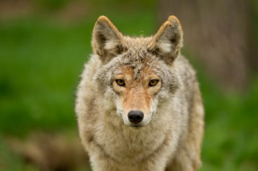 Coyote Stare 104517501