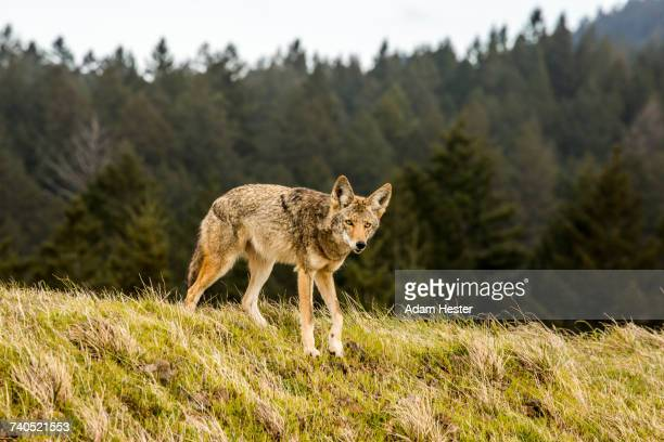 Coyote walking on hill