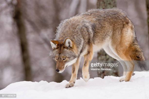 coyote walking on snow, quebec, canada - coyote stock pictures, royalty-free photos & images